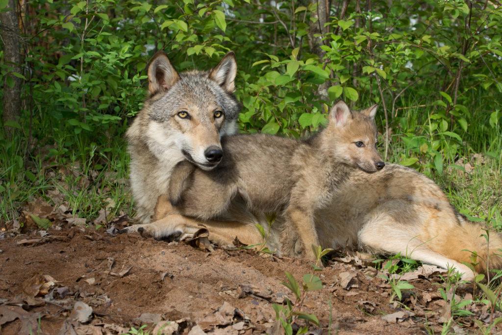 ulv ulvehvalp