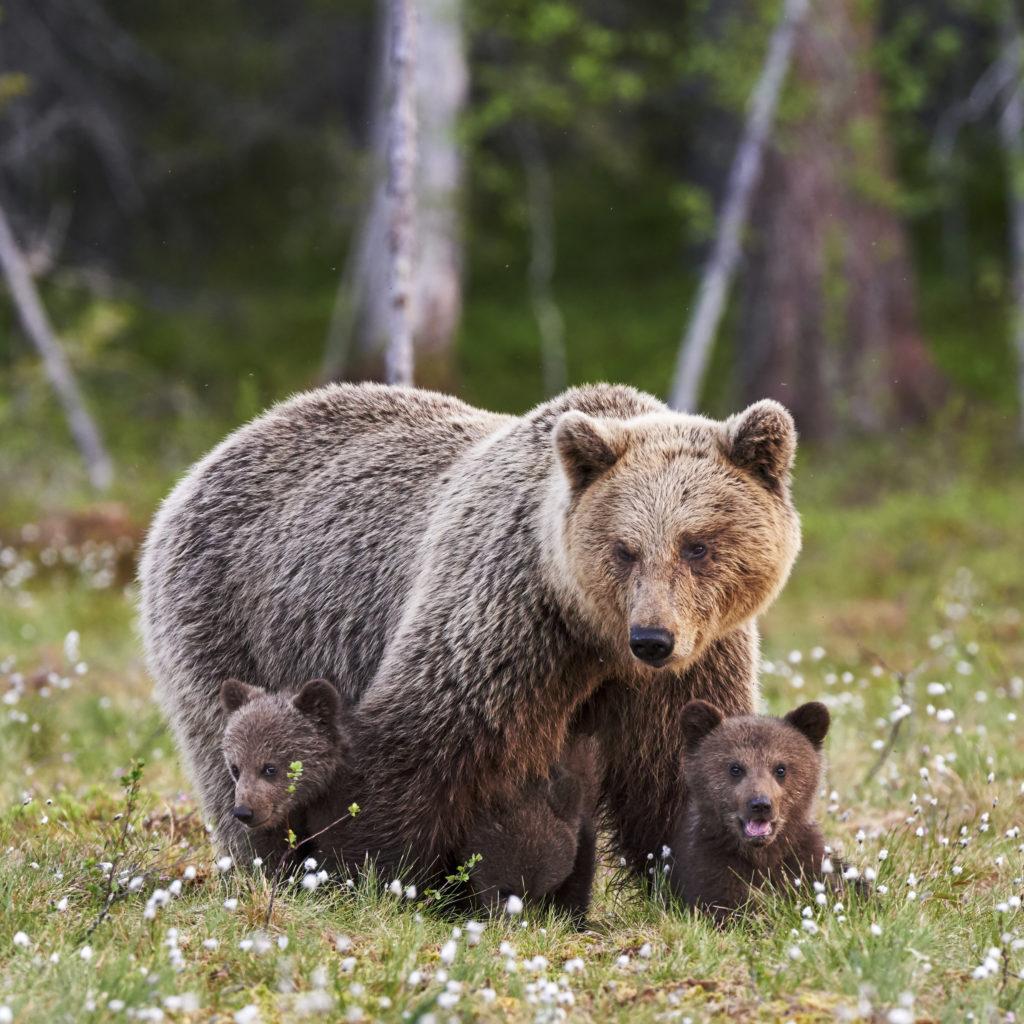 bjørn binne bjørnunge